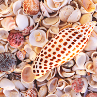 A day's bounty for the serious shell hunter.  Photo: Dave Meardon