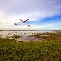 Bonaire Flamingos