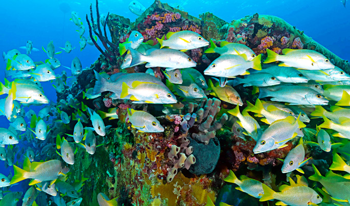 Common Reef Fish Of The Caribbean Tropixtraveler