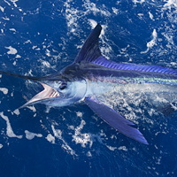 White Marlin, Caribbean Fishing