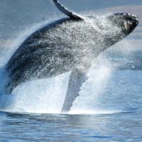 Humpback whale,