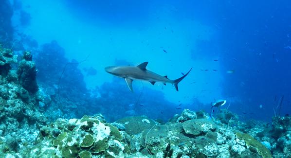 Turks U0026 Caicos Reef Shark