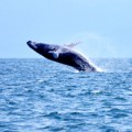 Dominican Republic Whale Breaching