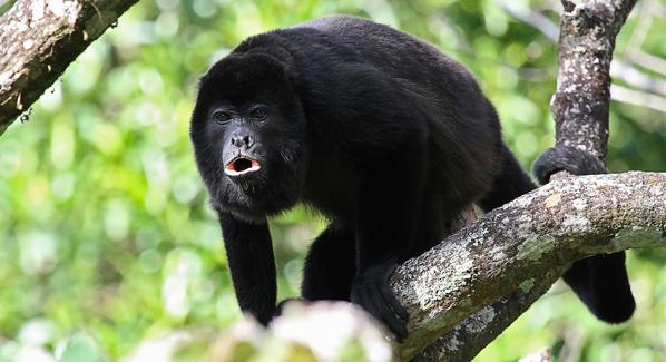 Guatemala Howler Monkey