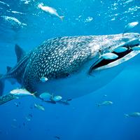 Whale Sharks Isla Contoy