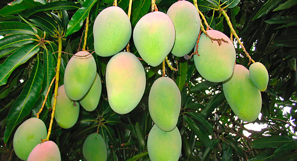 Mango On Tree
