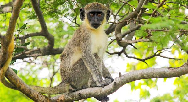 Nevis Monkey