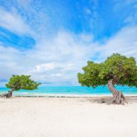 Aruba Beach Divi Tree