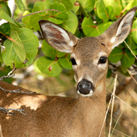 August is the best time of year to spot the tiny Key deer and their offspring in the Lower Keys. Photo: iStock
