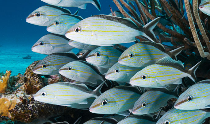 Queen Triggerfish Teeth Common Reef Fish of th...