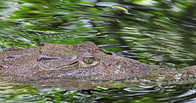 jamaican crocodile - photo #20