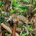 Belize Jaguar