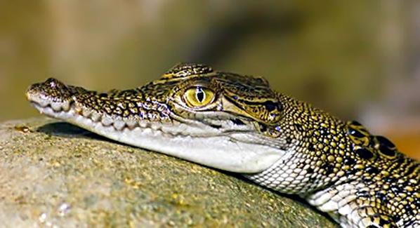 Cancun Crocodile