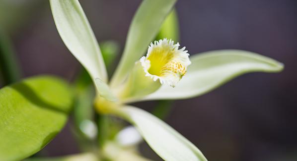 Raiatea Vanilla Flower