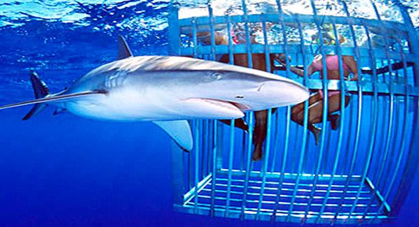 Oahu Hawaii Shark Diving